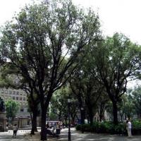 Alzina Plaça de Catalunya (Arbre d'interès local)