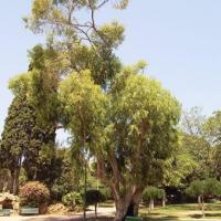 Eucalyptus dels Jardins de la Vil·la Amèlia