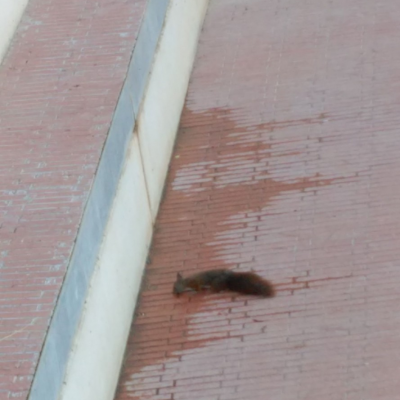 Esquirol a ls Casa de l'Aigua