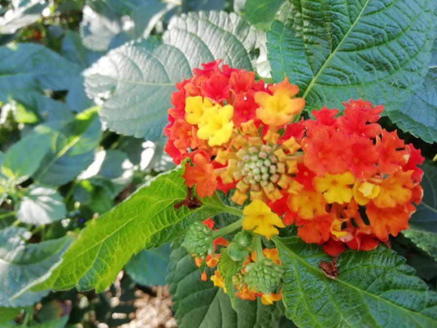 Lanatana camara flors 1