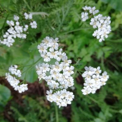 Camamilla vera flor