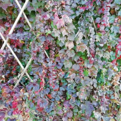 Vinya verge 2