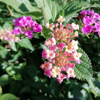 Lanatana camara flor
