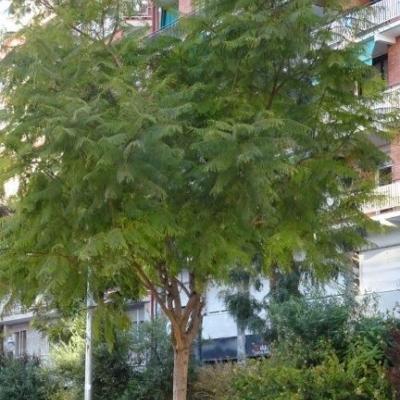 Jacaranada mimosifolia