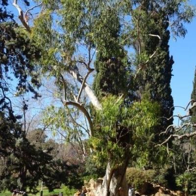 Eucaliptus 15 de març del 2019
