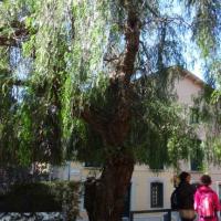 Fals pebrer Schinus molle Jardins de Vil·la Amèlia