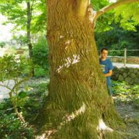 Noguera alada de Montjuïc (Pterocarya × rehderiana)