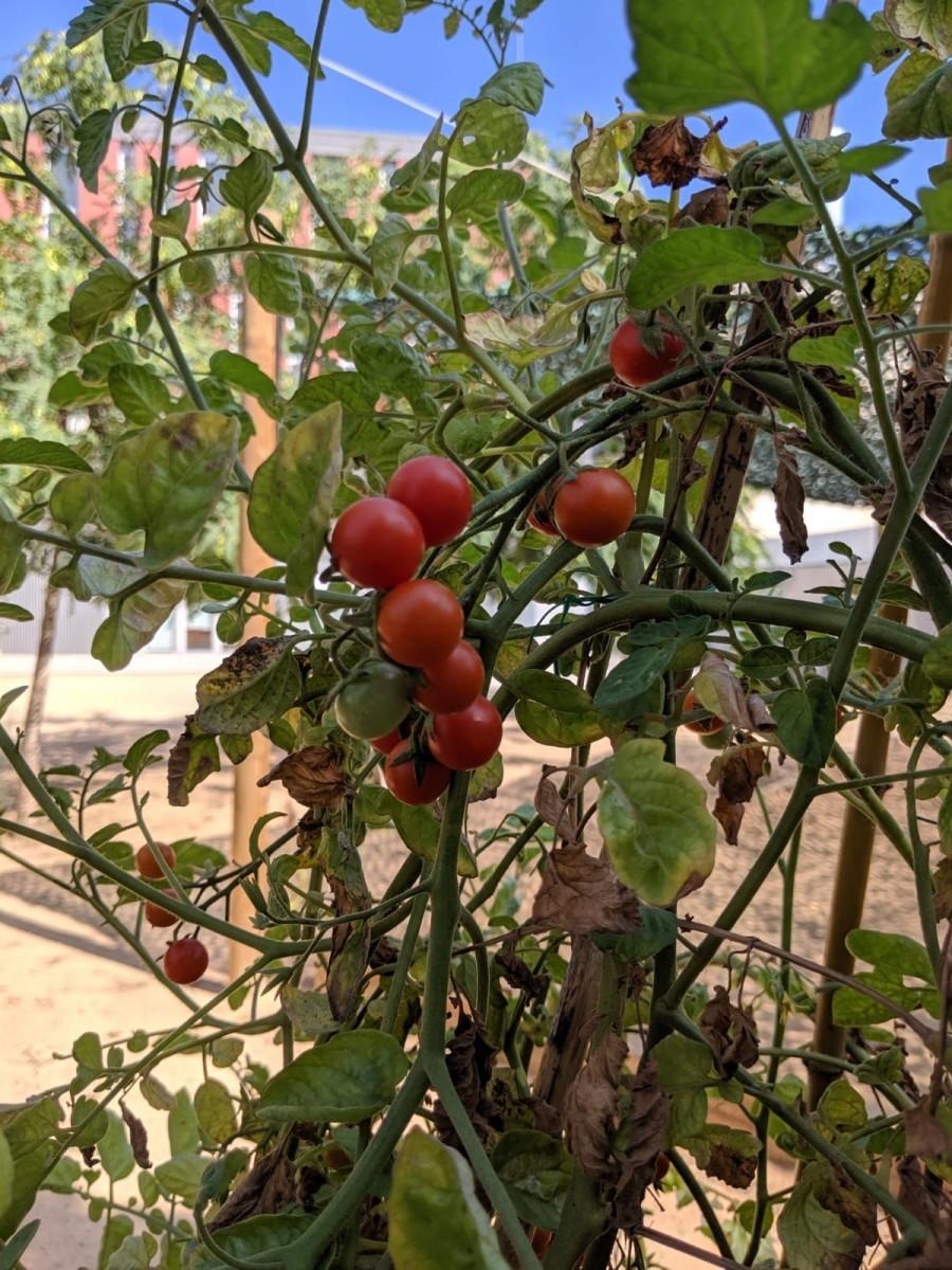 Tomaquets de l'hort de l'Escola Mediterrània